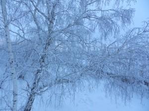Зимние сумерки. Береза