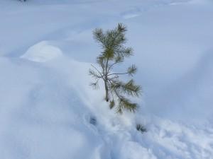 сосенка и снег