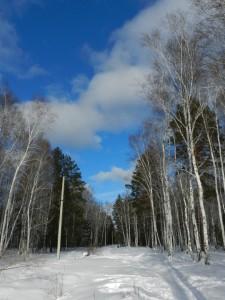 березы  и лазурное небо