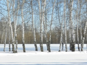 березы среди снежных полей