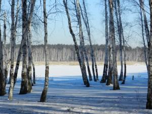 березы рисуют тенями на белом снегу