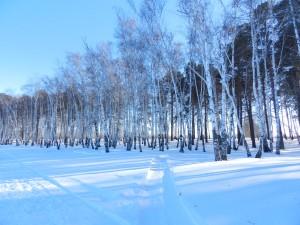 зимний закат осветил березы