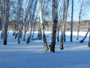 зима, березы, озеро и солнце
