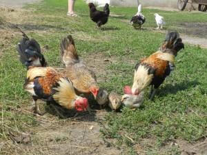 петухи и цыплята