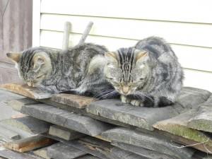 Двоящиеся коты