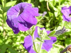 лиловый бархат петунии