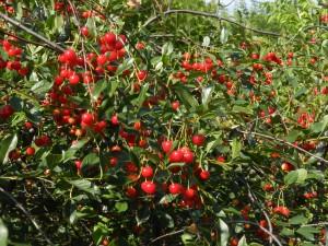 куст вишни
