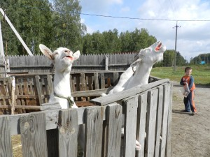 козы наслаждаются яблоками