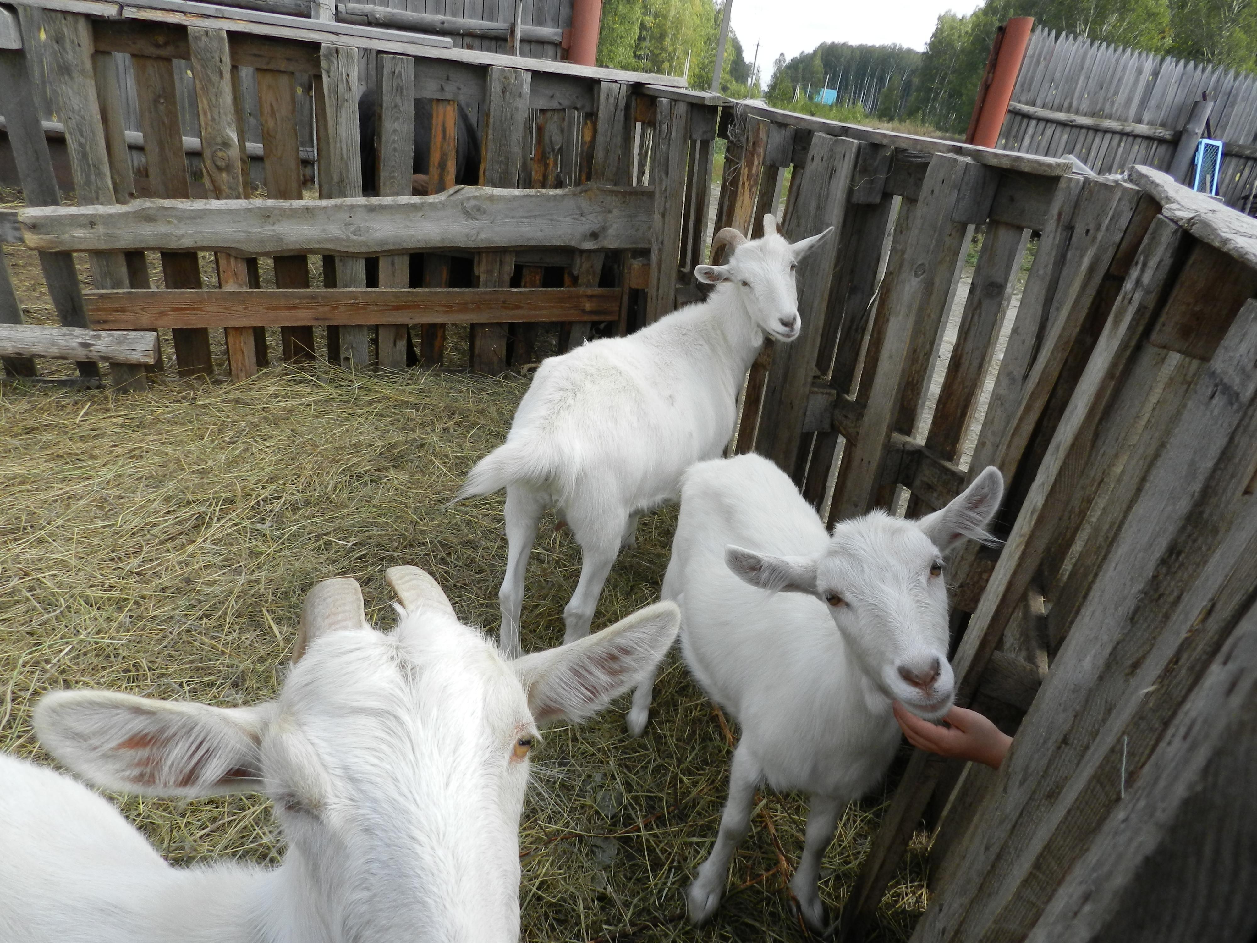 козы ждут подачки