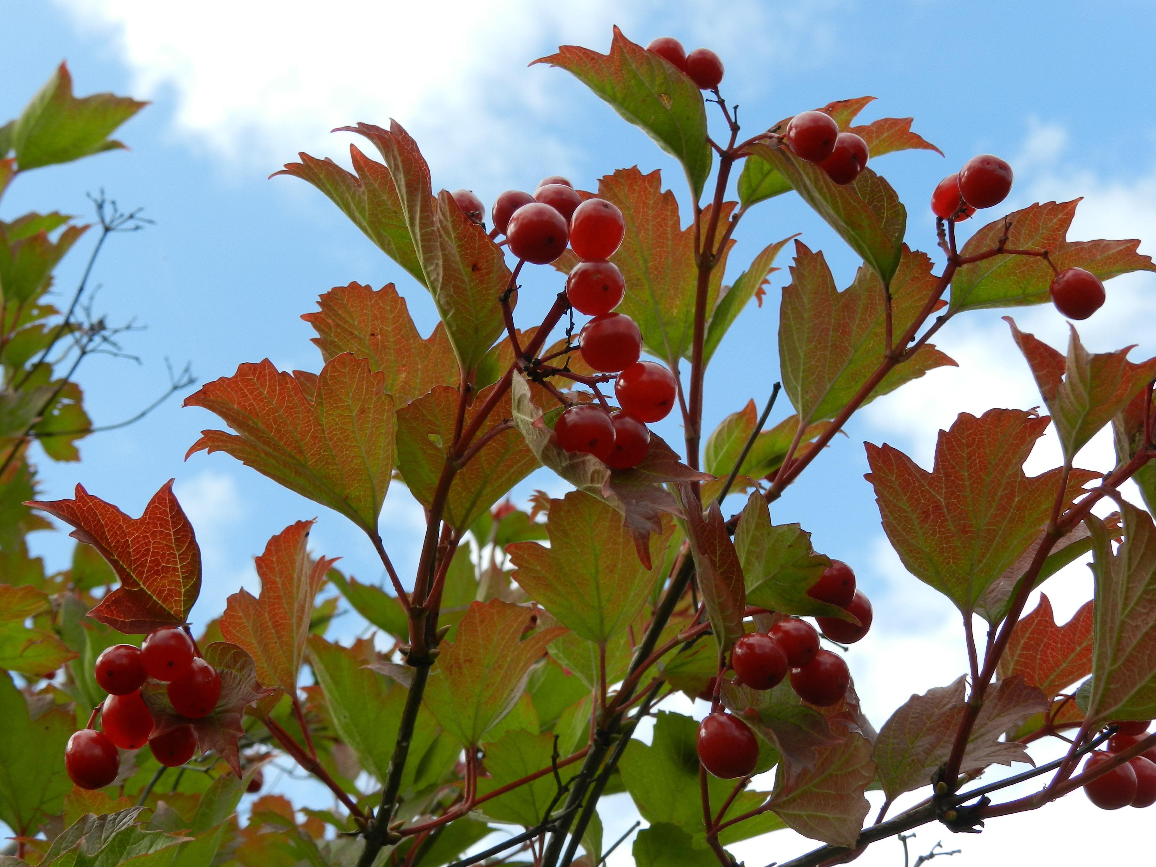 ягоды и листья калины на фоне неба