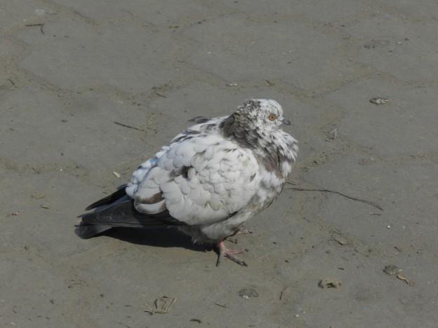взъерошенный голубь