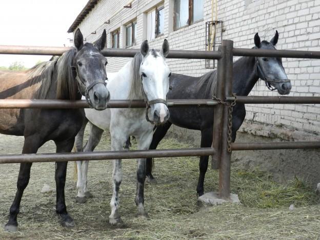 Лошади в леваде Курганского ипподрома